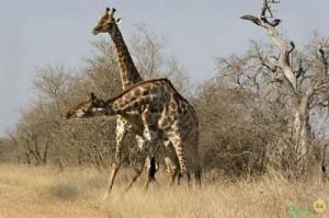 Жирафы в Крюгер-парке