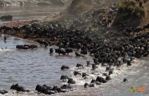 Миграция антилопы гну. Фото 4