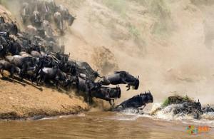 Миграция антилопы гну. Фото 3