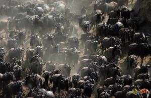 Миграция антилопы гну. Фото 5