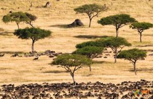 Миграция антилопы гну. Фото 1