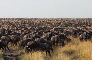Великие миграции животных — антилопы гну