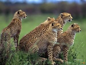 Стая африканских гепардов