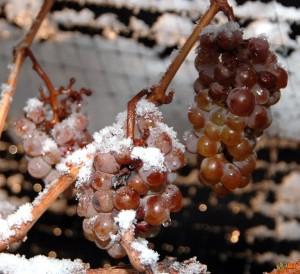 Ледяное вино делают из замерзшей виноградной лозы
