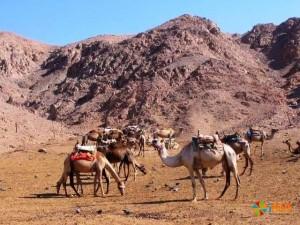 Эйлат - верблюжья ферма
