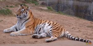 Амурский тигр. Фото 2