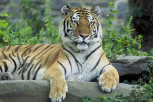 Амурский тигр. Фото 1
