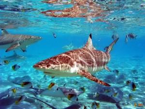 Акулы на острове Бора-Бора