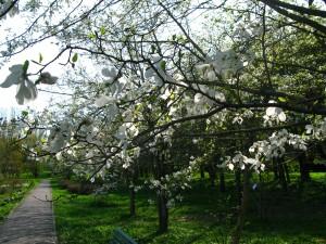 Магнолии в ботаническом саду Калининграда