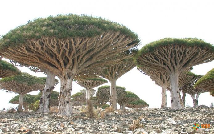 Неземная флора острова Сокотра